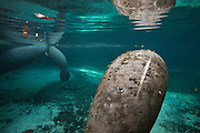 """Portrait of a West Indian manatee  or """"Sea Cow"""" (Trichechus manatus), with a large scar from a boat propeller in Crystal River, Three Sisters Spring, Florida."""
