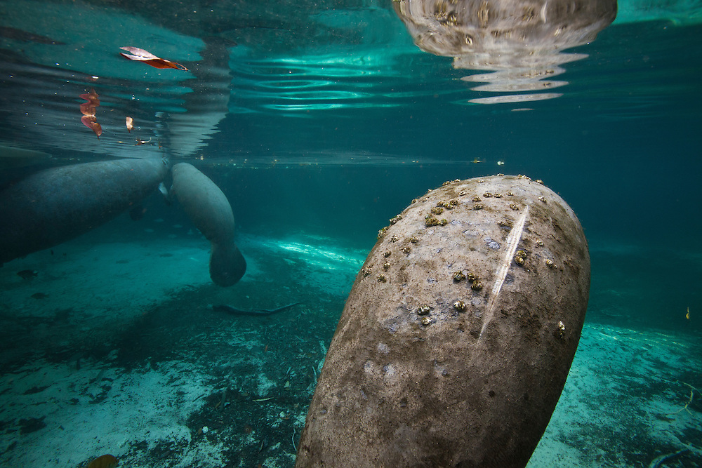 "Portrait of a West Indian manatee  or ""Sea Cow"" (Trichechus manatus), with a large scar from a boat propeller in Crystal River, Three Sisters Spring, Florida."