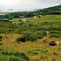Grazing Cattle in Iveragh Uplands along the Ring of Kerry, Ireland <br />