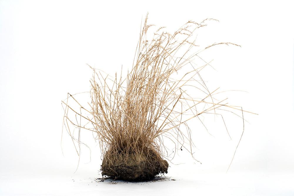 dried wild grasses