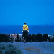 &ldquo;Rainy Day Cowboy&rdquo; <br /> Joe Ed Eckert<br /> Turkey Track Ranch, Texas, 2002<br /> Cattle, book                                                             20 x 30