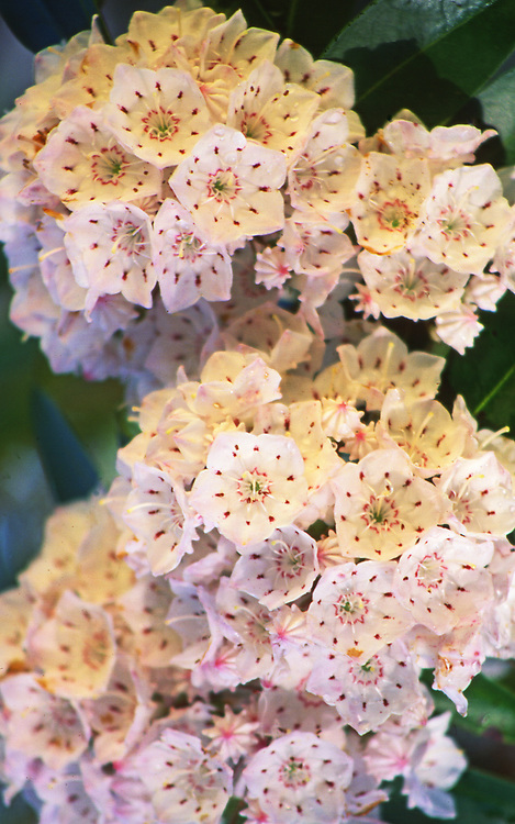 Mountain Laurel Flowers, PA forests,