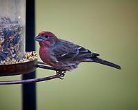 House Finch at the Bird Feeder. Image taken with a Nikon D5 camera and 600 mm f/4 VR lens (ISO 1600, 600 mm, f/4, 1/500 sec).
