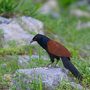Greater Coucal Centropus sinensis bubutus