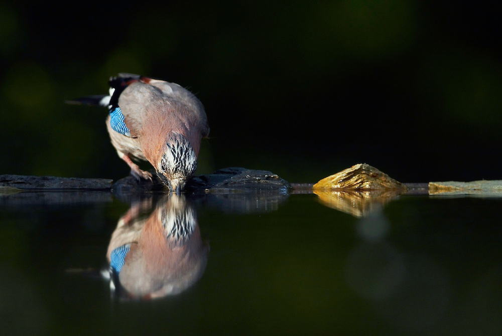 Jay (Garrulus glandarius) Pusztaszer Nature Reserve, Hungary