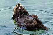 Sea Otter, Monterey, North America