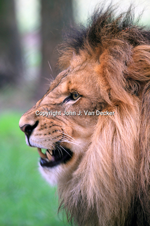 African Lion, Panthera leo, Cape May County Zoo, New Jersey, USA