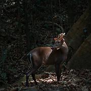 The Fea's Muntjac or Tenasserim muntjac (Muntiacus feae). Kaeng Krachan National Park, Thailand.