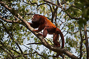 Red Howler Monkey (Alouatta seniculus arctoidea) (3 sub-species in Venezuela)<br /> Hato Masaguarel working farm and biological station, Guárico Province, VENEZUELA. South America.<br /> Diurnal arboreal monkeys. They live in troops consisting of an adult male, several femals and their young. Females reproduce in any season but seem to prefer the dry season when there is plenty of fruit. Up to 2 young are born and are carried on her back. The males are very vocal and their calls are heard for several kilometers in the early mornings. Feed on leaves and fruit.<br /> The Llanos are flood plains stretching north of the Orinoco River to the Andean foothills, covering 300,000sq km in Venezuela and another 220,000 sq km in Colombia. This area has poor soil but is rich in its river systems which floods in the wet season leaving shallow marshes which nourish a high concentration of birds and animals.