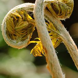 Koningsvarenfamilie, Osmundaceae