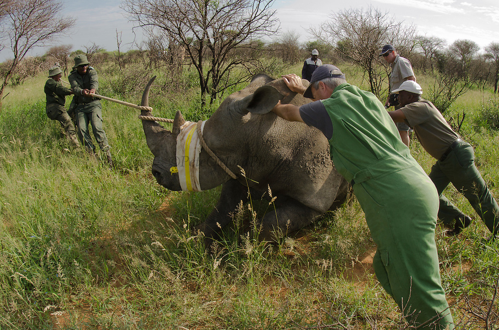 White Rhinoceros (Ceratotherium simum) darted for relocation. Conservation Solutions Kester Vickery & Vet Andre Uys moving the sedated animal nearer the road<br /> Private Game Reserve<br /> SOUTH AFRICA<br /> RANGE: Southern & East Africa<br /> ENDANGERED SPECIES