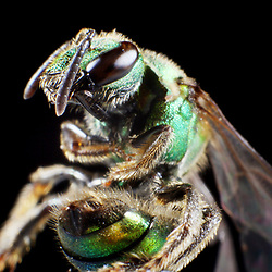 Kyle Green / The Roanoke Times<br /> 8/30/2012 Sweat Bee.