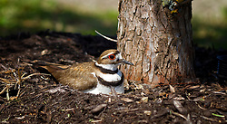 "Several KillDeer have made the trees on the Gold?s Gym parking lot home for the next 26 to 28 days of their incubation period. ..The killdeer frequently uses a ""broken wing act"" to distract predators from the nest. The name of killdeer is imitative of its cry...I personally Find their cry beautiful what?s funny is how fast the little birds run."