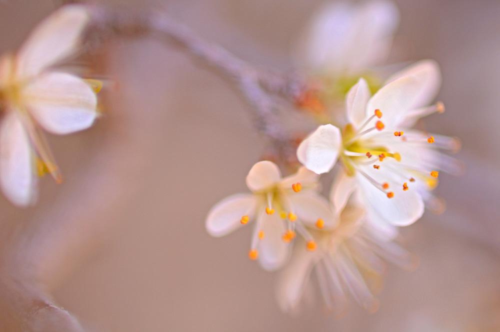 France, Languedoc Roussillon, Gard (30), Cevennes, fleurs de Prunellier, épine noire, N.L.: Prunus spinosa, (rosacées)
