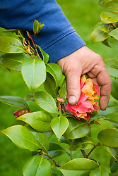 Deadheading a camellia by removing faded blooms after they have finished flowering
