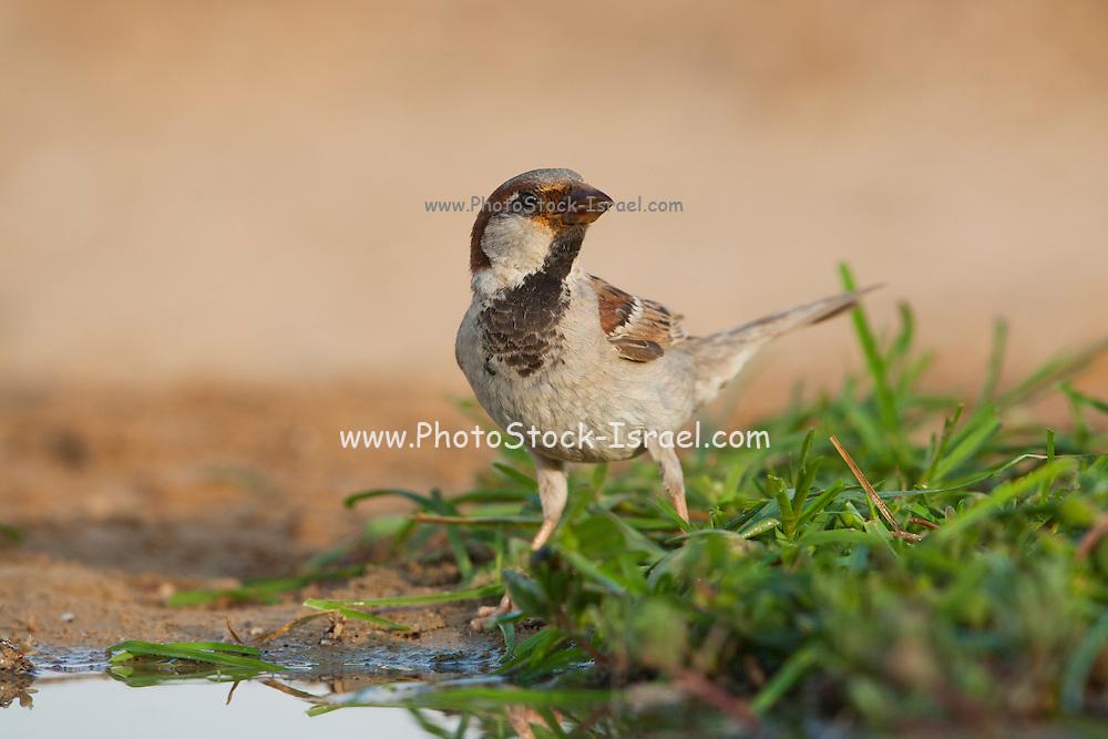 House Sparrow (Passer domesticus biblicus) near water, negev desert, israel