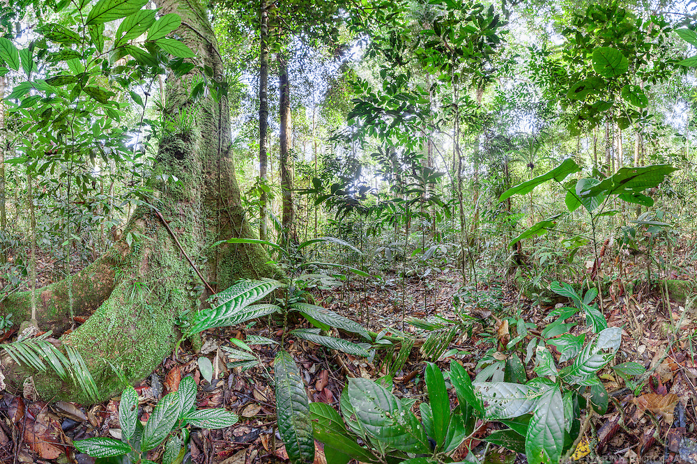 Panoramic view (360 degrees) of a lowland dipterocarp rainforest in Ulu Temburong National Park, Brunei (Borneo)