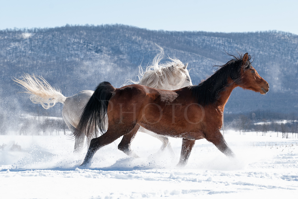Horses running at play in snow and sunlight on a very cold winter day, Arabian breed.