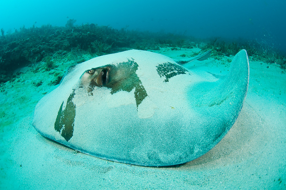 Roughtail Stingray (Dasyatis centroura) photographed in Palm Beach, FL. This species is one of the largest stingrays in the world, reaching over 7ft. across and 600lbs. in weight.