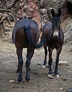Mule exhibiting typical equine behavior.