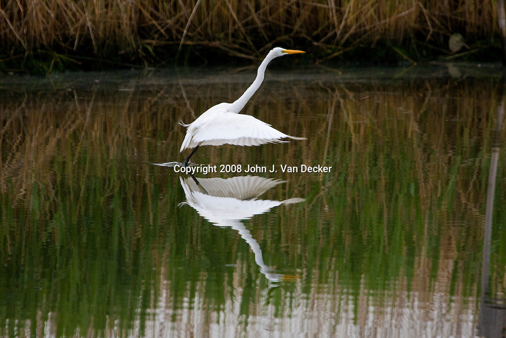 Great Egret Taking off from Salt Marsh