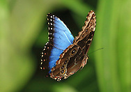 Morpho butterfly (Morpho peleides) flying. Costa Rica. <br /> <br /> For pricing click on ADD TO CART (above). We accept payments via PayPal.