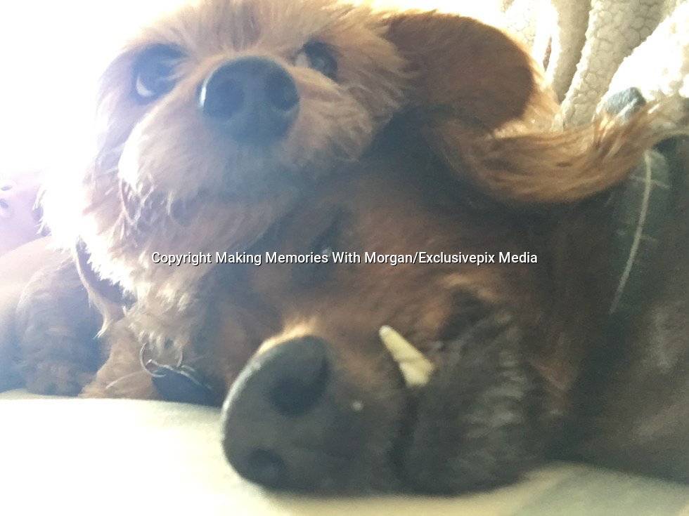 18-Year-Old Rescue Dog Is Doing Everything On His Bucket List <br /> <br /> Morgan is a senior dachshund who is currently the ripe old age of 18. When Morgan's human passed away, he ended up at the Lee County Domestic Animal Services (LCDAS) in Fort Myers, Florida.<br /> <br /> When staffers at the shelter realized how old Morgan was, they knew they needed to get him out of the shelter to somewhere he could live out the rest of his days in peace. The shelter decided to reach out to Senior Paws Sanctuary (SPS) to see if it could help the elderly little dog.<br /> <br /> &quot;LCDAS called SPS to inform us that an elderly, unadoptable dog had arrived and wanted to know if we could help him,&quot; Kate Reidy, Morgan's foster mom,. &quot;The founder and organizer of SPS went to see Morgan and fell in love.&quot;<br /> <br /> All of the dogs with SPS are sent to live with foster families, and so Morgan went to live with Reidy and her 10-year-old dog, Charlie. Reidy assumed that because he was already 18, Morgan would be a slower, sleepier kind of dog &mdash; but that turned out not to be the case at all.<br /> <br /> &quot;I joke and say Morgan has Benjamin Button disease,&quot; Reidy said. &quot;He has gotten more active, livelier and his personality has grown in the past year of fostering him. Most people don't believe his age!&quot;<br /> <br /> Morgan immediately began to thrive in his foster home, loving everything about his new life. His new mom got him his own stairs to help him get onto the couch and bed, and he loves to wander around his house exploring.<br /> <br /> &quot;He loves attention,&quot; Reidy said. &quot;He loves to snuggle as close as he can to you and every so often he will get up and sniff your face just to make sure he remembers who he is sitting with! It's so sweet.&quot;<br /> <br /> No one can be sure exactly what Morgan's first 18 years of life were like, or exactly what he got to do or see. Since his foster home seemed to make him livelier a