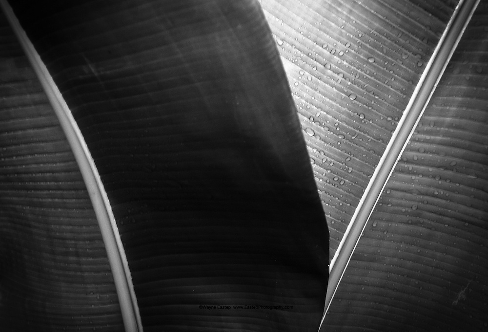 Abstract study of the leaves of a rubber plant.