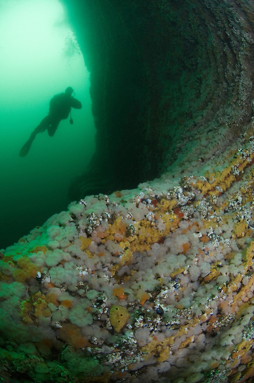 Giant cualdrons, Tore Aglen, underwater scenery<br /> Atlantic marine life, Saltstraumen, Bod&ouml;, Norway<br /> Model release by photographer