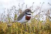 Banded Dotterel in the Mackenzie Basin, New Zealand