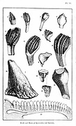 Comparison of fossil teeth & nasal horn of Iguanadon and, 13, lower jaw & teeth of modern Iguana (Mantell). From William Buckland 'Geology and Mineralogy' London 1836.  This book is one of the Bridgewater Treatises.