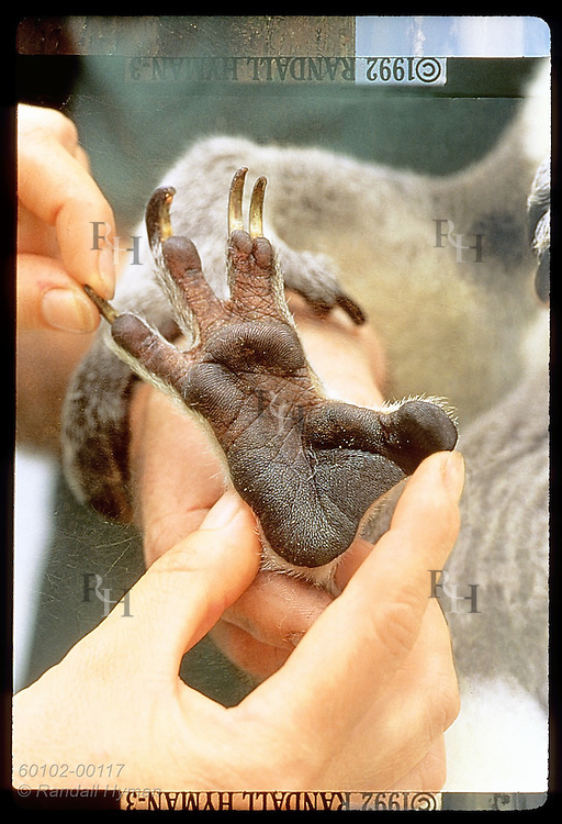 Close-up of koala's hind paw from which fingerprints are made @ Universty of Queensland;Brisbane Australia