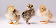 Genetic variation within chickens. These three dya old chicks represent years of selective breeding to bring out traits that help poultry producers.