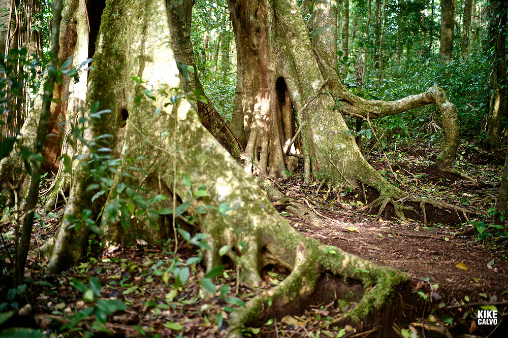 Buttress roots expanding on the cloud forest floor