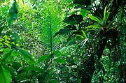 Atlantic rainforest in Serra do Mar mountains, Rio de Janeiro State, Brazil; palm leaf in center, epiphytes on tree trunk.