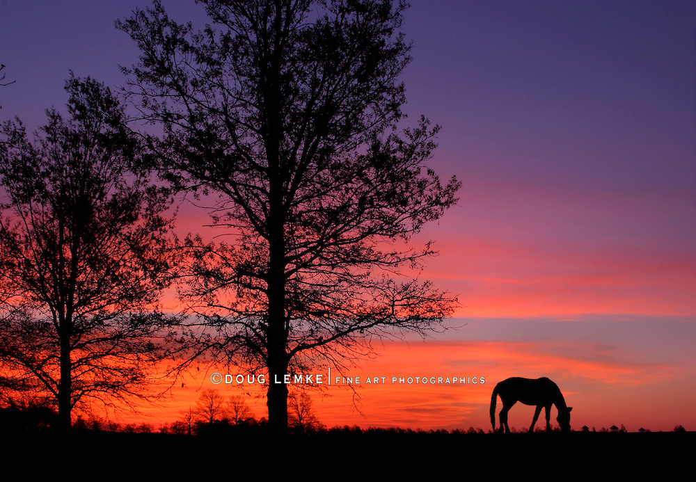 A Grazing Horse At Sunrise During Springtime In Horse Country, Lexington, Kentucky, USA