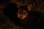 """Male tasmanian devil, Wild and badly scarred from fighting with other males, known as scarface, photographed late at night at Kingsrun, Geoff King's """"devil restaurant"""" on his land near Arthur River, north west Tasmania. The devils are lured using a staked-out roadkill wallaby, under spotlights beside an old fishing hut on the beach. Tasmania's northwest is the only area not yet affected by Devil Facial Tumour Disease, which has caused a population crash elsewhere on the island.  ..The disease is a contagious cancer that scientists are only beginning to understand, but has spread rapidly through the population, leaving the devil listed as endangered. In December 2009, it was announced that the disease may be related a peripheral nerve cell, called the Schwann cell, which has led some hopes for preserving the devil, at least in terms of quarantine insurance populations."""