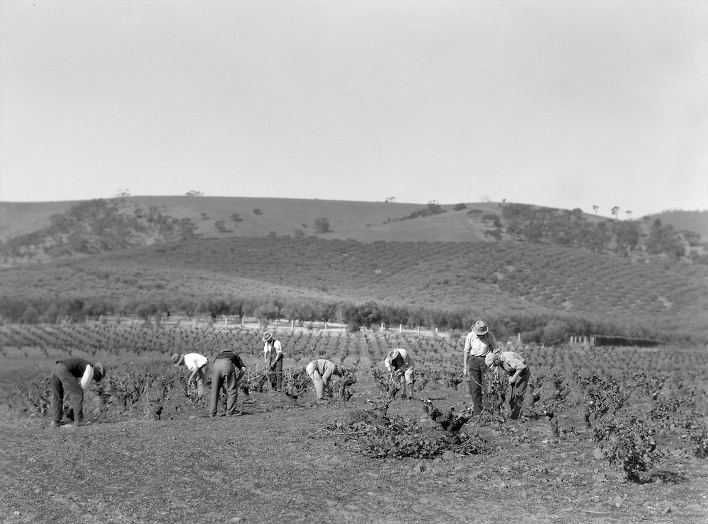 Vineyards, South Australia, 1930