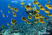 scuba diver observes school of racoon or raccoon butterflyfish, Chaetodon lunula, Honokohau, Kona, Big Island, Hawaii ( Central Pacific Ocean ), dive site called Eel Cove, near Kaiwi Point, MR 356