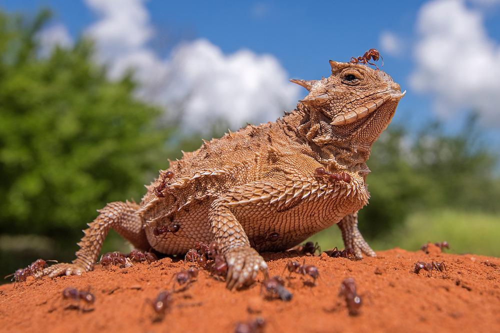 Texas Horned Lizard, Phrynosoma cornutum;<br /> Photographer:  Hector Astorga <br /> Property:  Santa Clara Ranch / Beto &amp; Clare Gutierrez<br /> Starr County
