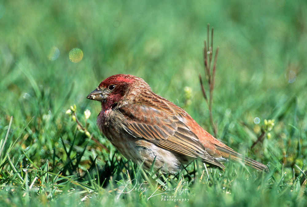 House Finch (Carpodacus mexicanus), Courtenay, British Columbia, Canada - Photo: Peter Llewellyn