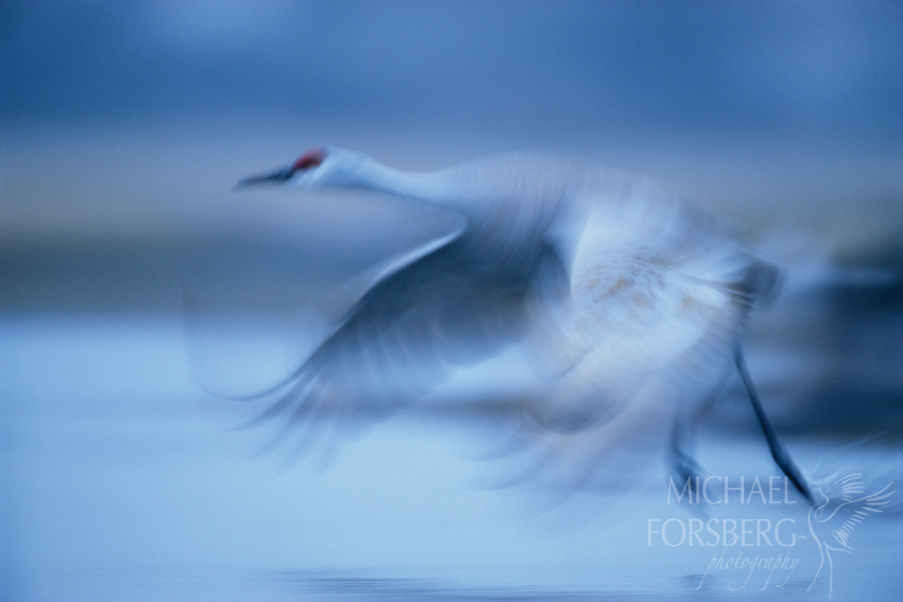 On a bitterly cold blue dawn in early March, a lesser sandhill crane leaves its icy river roost driven by the urge to feed. Platte River valley, Nebraska.