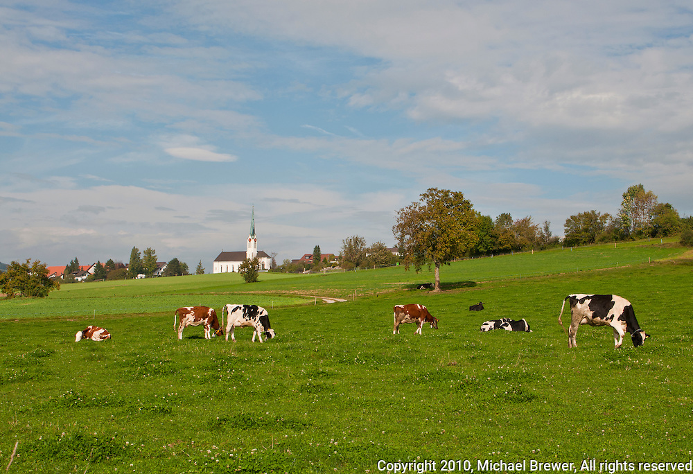 Typically bucolic scene with cows in a meadow looking up at the village of  Bellikon from Zufikon, Switzerland.