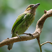 The green-eared barbet (Psilopogon faiostrictus) is an Asian barbet. They get their name from the bristles which fringe their heavy bills.