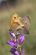 Meadow Brown Maniola jurtina Wingspan 50mm. Britain's most familiar and widespread grassland butterfly. Adult has brown upperwings; male has a small orange patch on the forewing containing eyespot; orange patch is larger in female. Underside of hindwing is brown with a grey-brown band; forewing is orange and buff with an eyespot. Flies June-Aug. Larva feeds on grasses and is nocturnal. Generally common throughout the region but least so in northern Scotland and Ireland. Favours a wide range of grassland habitats.