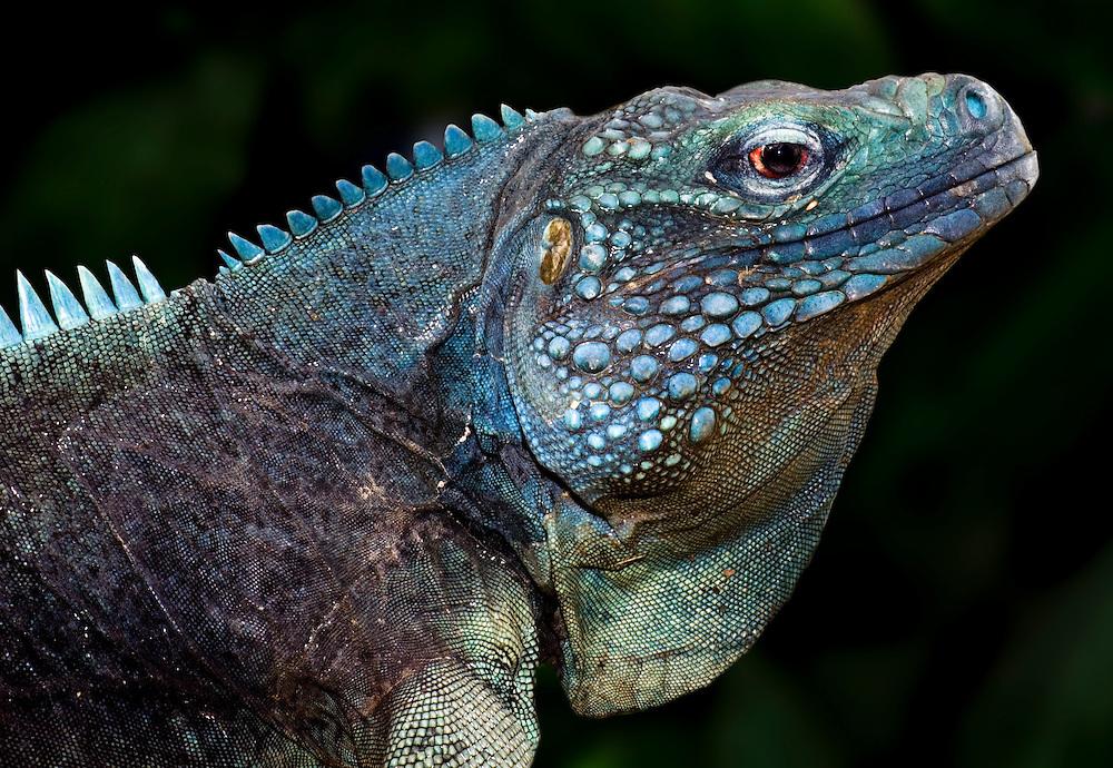Grand Cayman Blue Iguana (Cyclura lewisi)