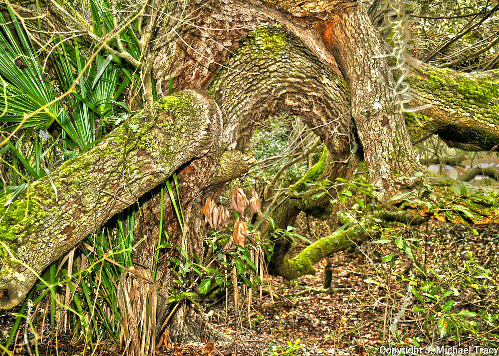 Massive, moss covered, ancient oak tree on Jekyll Island.