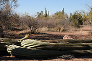 Ironwood Forest National Monument, Sonoran Desert, Marana, Arizona, USA.