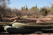 Ironwood Forest National Monument, Sonoran Desert, Marana, Arizona, USA.
