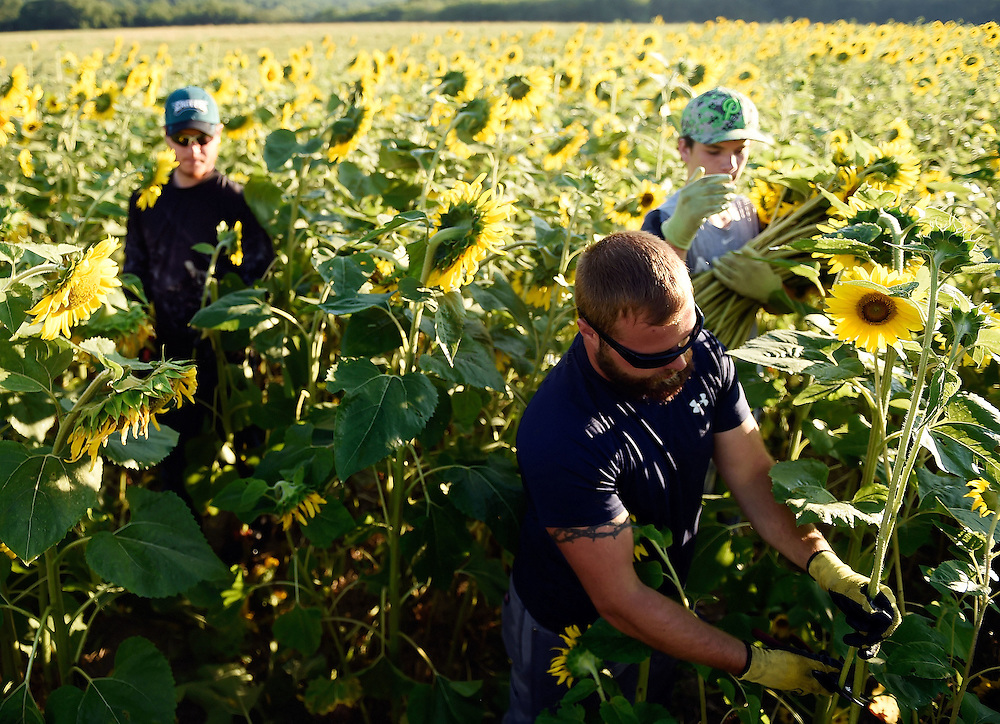 7/28/16 :: REGION :: STAND ALONE :: Volunteers, from left, Tyler Davis, Davidson Stevens and Dylan McGuire harvest sunflowers at Buttonwood Farm in Griswold Thursday, July 28, 2016 for the farm's 13th annuals Sunflowers for Wishes fundraiser. A bouquet of sunflowers can be had for a $10 donation to the Make-A-Wish Foundation during the event which runs through this weekend. The event has raised over $1 million since it began.  (Sean D. Elliot/The Day)